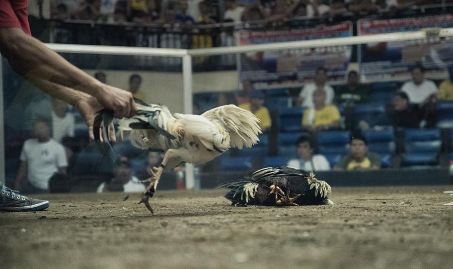 Sabung Ayam Online Di Situs Judi S1288